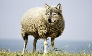 Literal wolf in sheep's clothing